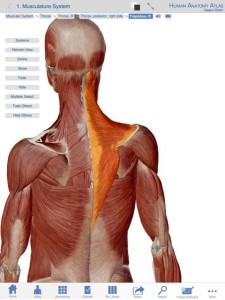 右の色の変えてある筋肉が僧帽筋で左はその奥にある筋肉です。